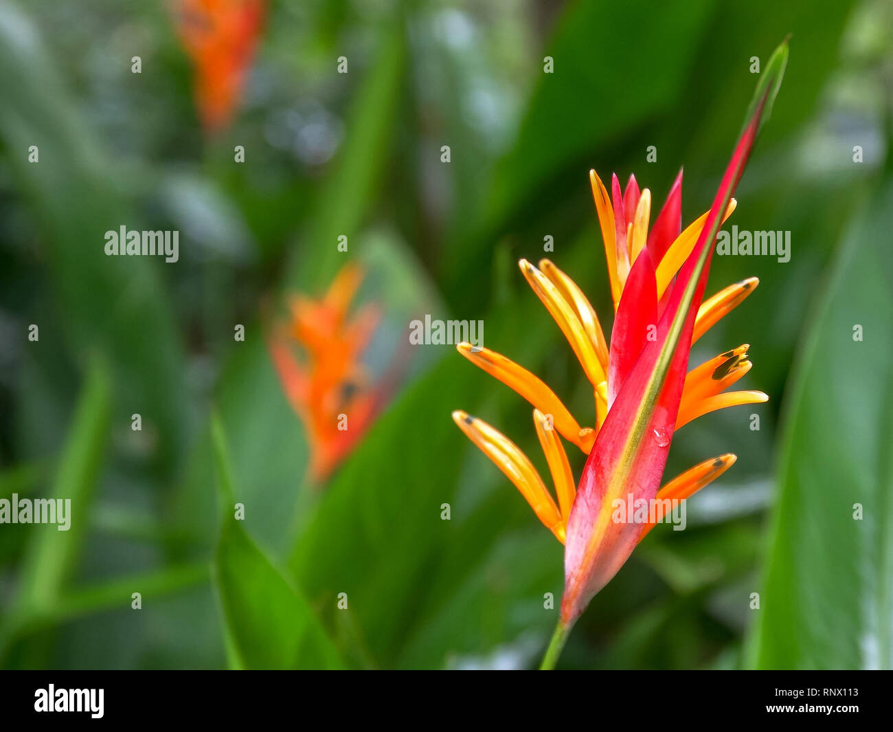 close up of a heliconia psittacorum tropical flower on maui - Stock Image