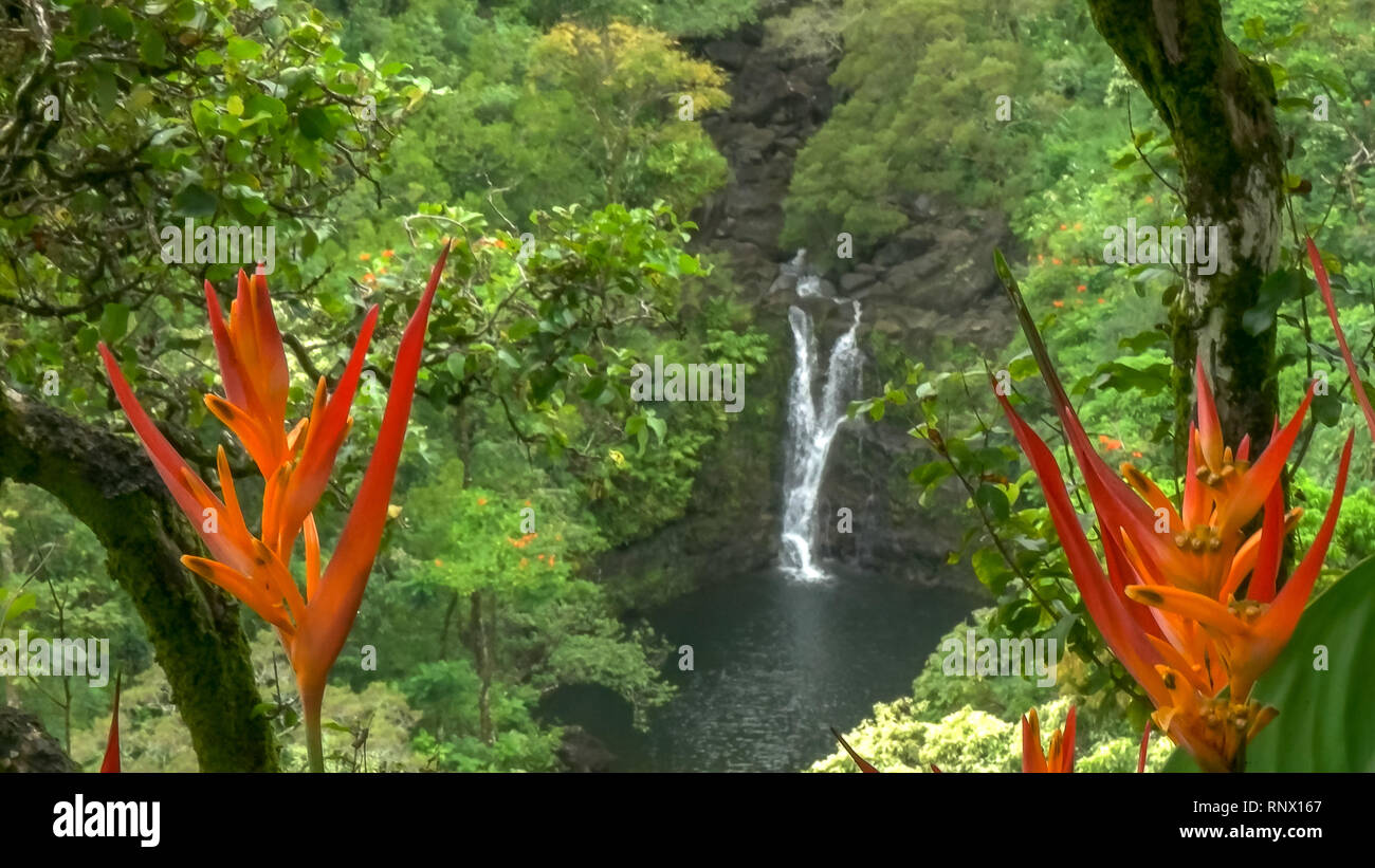 close up of heliconia psittacorum growing at lower puahokamoa falls on maui - Stock Image