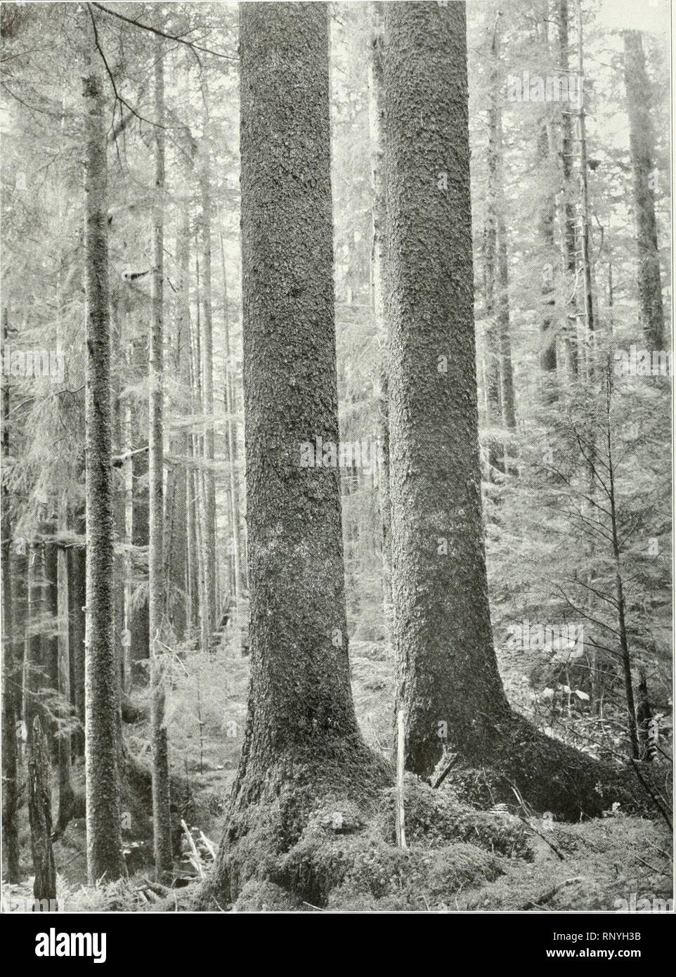 . American forestry. Forests and forestry. 26 AMERICAN FORESTRY. SITKA SPRUCE IN THE TONGASS NATIONAL FORI':ST The most important species in Alasl<a is tlie Sitka spruce. Single trees reach a diameter of over seven feet and a height of 200 feet. A single log lirought to one of the local mills was 154 feet long and scaled 18,000 hoard feet. Many parts of the forest run from lifty to seventy-live thousand feet per acre, limited areas carry one hundred thousand feet per acre. feet in diameter. But this comparison indicates an extraordinary development of the Washington forests rather than a sm Stock Photo