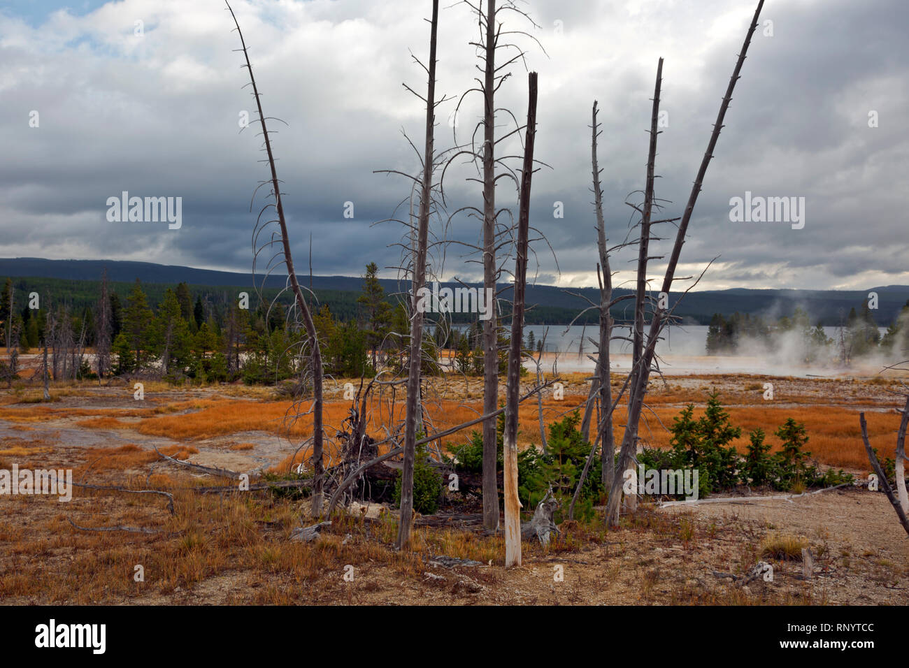 WYOMING - Trees killed by hotsprings runoff and new growth in  Rustic Group at Heart Lake Geyser Basin in the backcountry of Yellowstone NP. - Stock Image