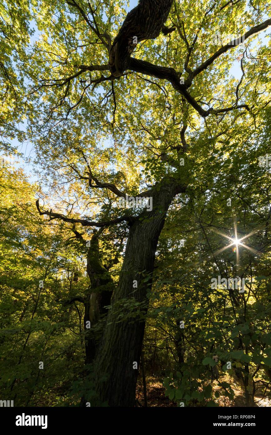 Ancient pollard Oak at Schwanheim forest, Frankfurt am Main, Hesse, Germany - Stock Image