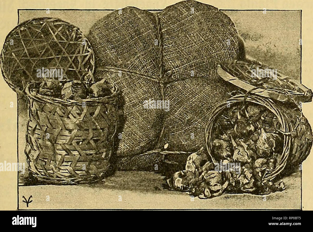 """. The American florist : a weekly journal for the trade. Floriculture; Florists. tgn- The American Florist. 475 Closing Out Sale of Choice Young Rose Plants, 1% inch pots. Cecile Brunner, per 100, $4.00 . . per 1000, $30.00 Grafted KiUarney Brilliant """" 50.00 Grafted Richmond ...... """" 50 00 Own root Richmond . . . """" 30.00 Own root Shawyer """" 30.00 CLOSING OLT SALE OF Extra Heavy Field Carnation Plants Matchless, White Enchantress and White Wonder, very choice, at $55.00 per 1000. 500 Mrs. Ward, 1000 Alice and a few hundred of deep pink fancy varieties. Bassett & Washburn  - Stock Image"""