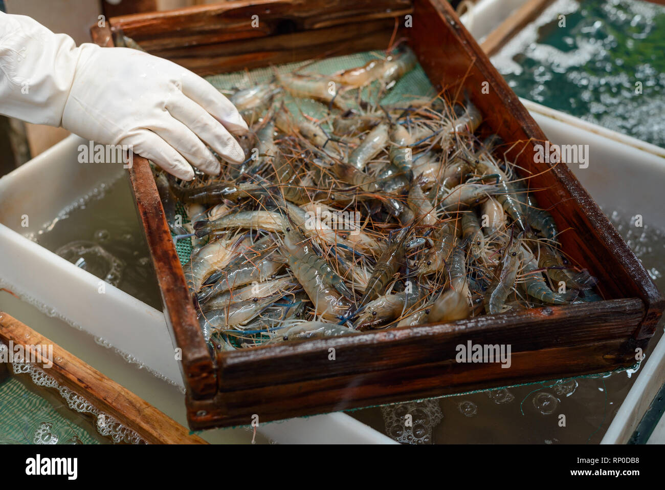 Worker washing shrimps in sifter - Stock Image