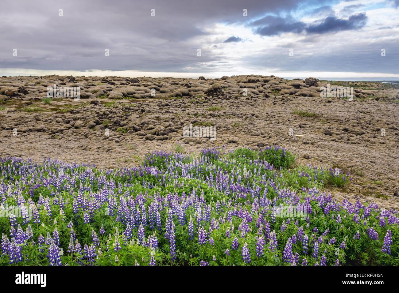 Lupinus nootkatensis on the Skaftareldahraun lava fields in Iceland - Stock Image