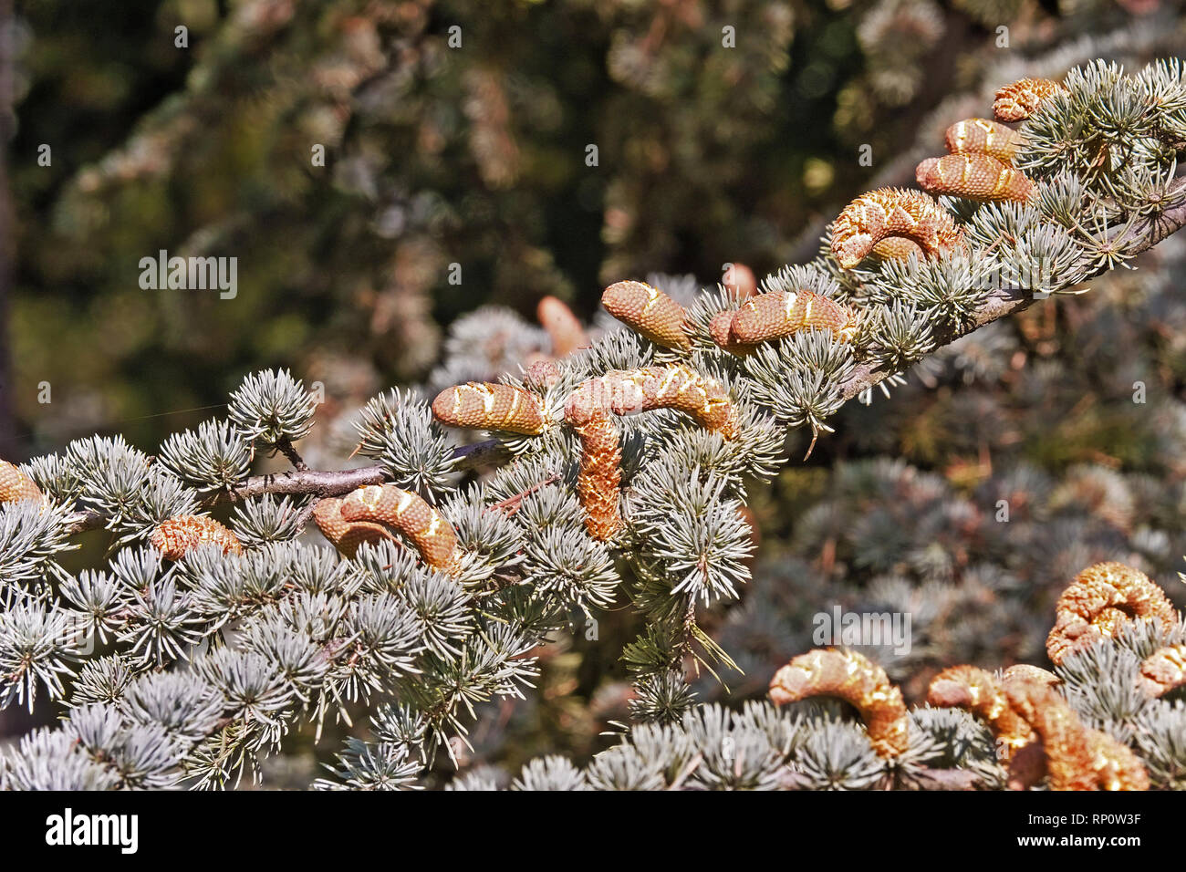 needle-like leaves and mature male fruits of the atlas cedar - Stock Image