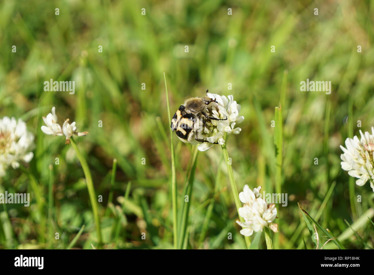 Bumblebee wannabe bug sitting on a white clover flower - Stock Image