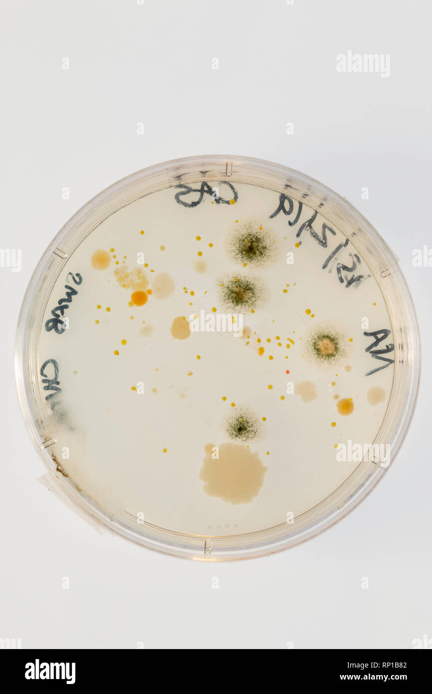 Microbes growing on an agar plate after taking a swab from a school chair - Stock Image