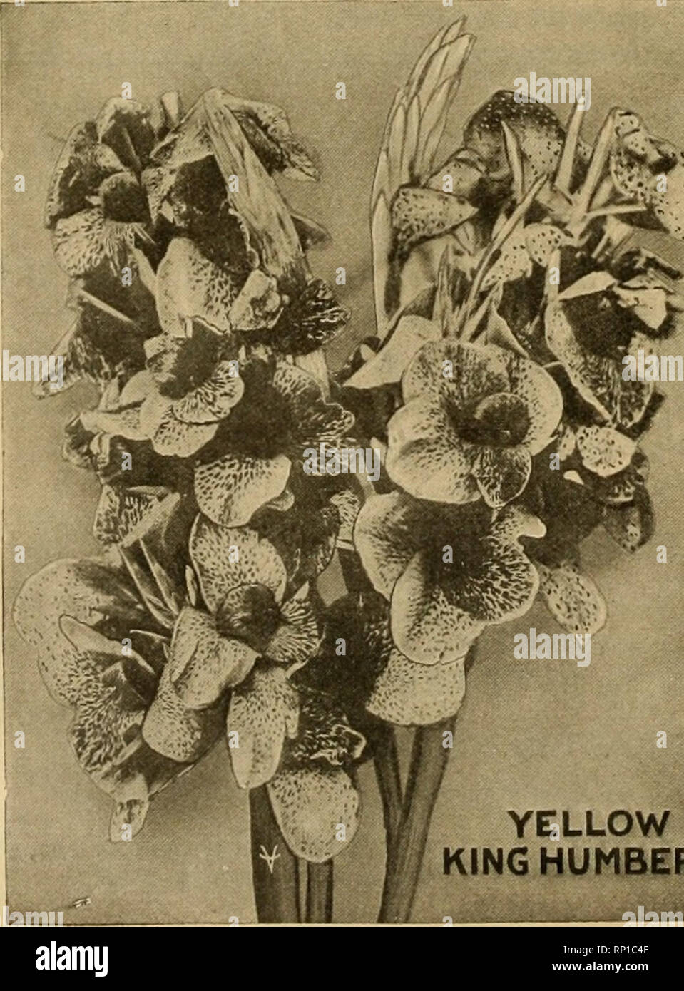 . The American florist : a weekly journal for the trade. Floriculture; Florists. 586 The American Florist. Mar. 31, m m New Chrysanthemums YELLOW TURNER. | NOVELTY SINGLES. This yellow sport from the famous Wm. Turner Mrs. Albert Phillips, Vivian Cook, Rose Walker, is identical with its parent in every I Carlotta and Veronica respect, except color. ] 40c per plant $4.00 per dozen 25c per plant $2.50 per dozen $30.00 per 100. i $16.00 per 100. JAPANESE ANEMONES Wee Wah Graf von Fleming Yellow Prince 50c per plant $5.00 per dozen LILIAN DOTY, $4.00 per 100; $30.00 per 1000. All the above ready f - Stock Image