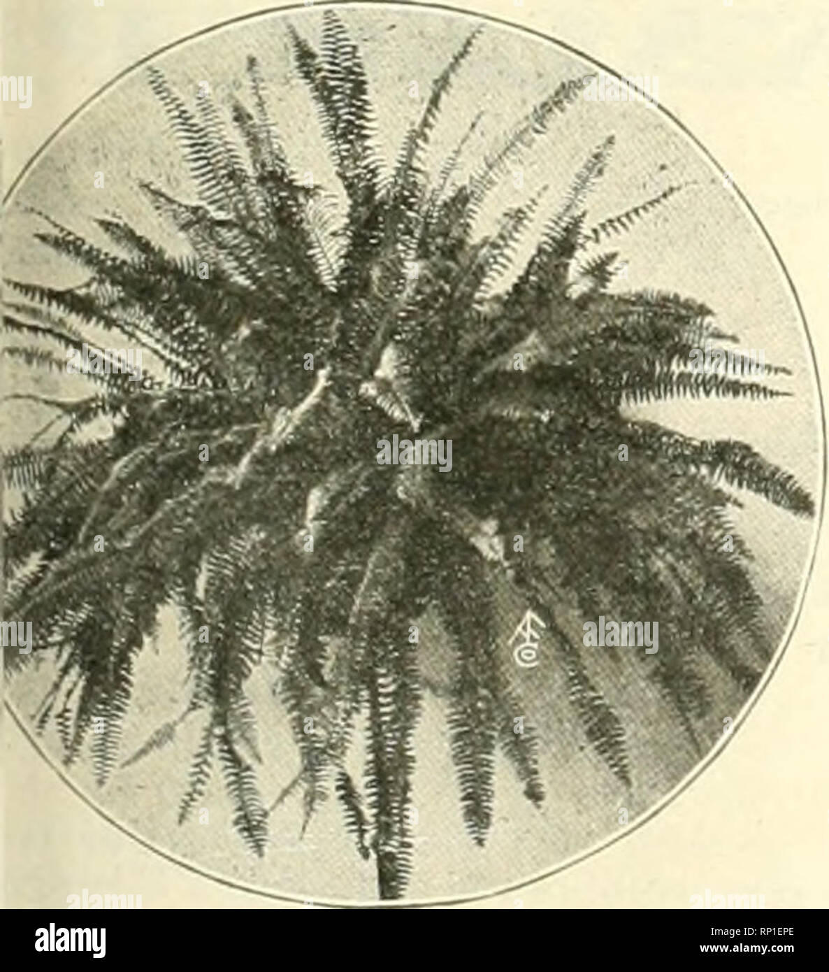 . The American florist : a weekly journal for the trade. Floriculture; Florists. Pteris Serrulata. FERNS BOSTOAS. Each Doz. lui) 1,000 $3.0U $25.00 $G.OO 45.00 SO.?.-; 9.00 1.00 i:;.oo 1.50 18.00 Baskets, each .*1.00 FERNS, FOR DISHES. 2-in., »3 per $25 per 1,110(1. um, 7-in., each $2.50 us, 4-in $1J!5 per doz.; $S per 100 PALMS KENTIA FORSTERIANA. t High Leaves Each Pot 3-in. 4-in. 5-in. 7-in. 7-in. S-in. 9-in. 9-in. KENTIA BELMORIAIVA. High Leaves Each Doz. S-in. S-lO-in. .12-15-in. .18-20-in. .28-30-in. .40-44-in. .44-45-in. .48-50-in. .50-54-in. 4 4-5 4-5 5-6 6-7 6-7 7-8 7-8 7-8 $0.73 2..5 - Stock Image