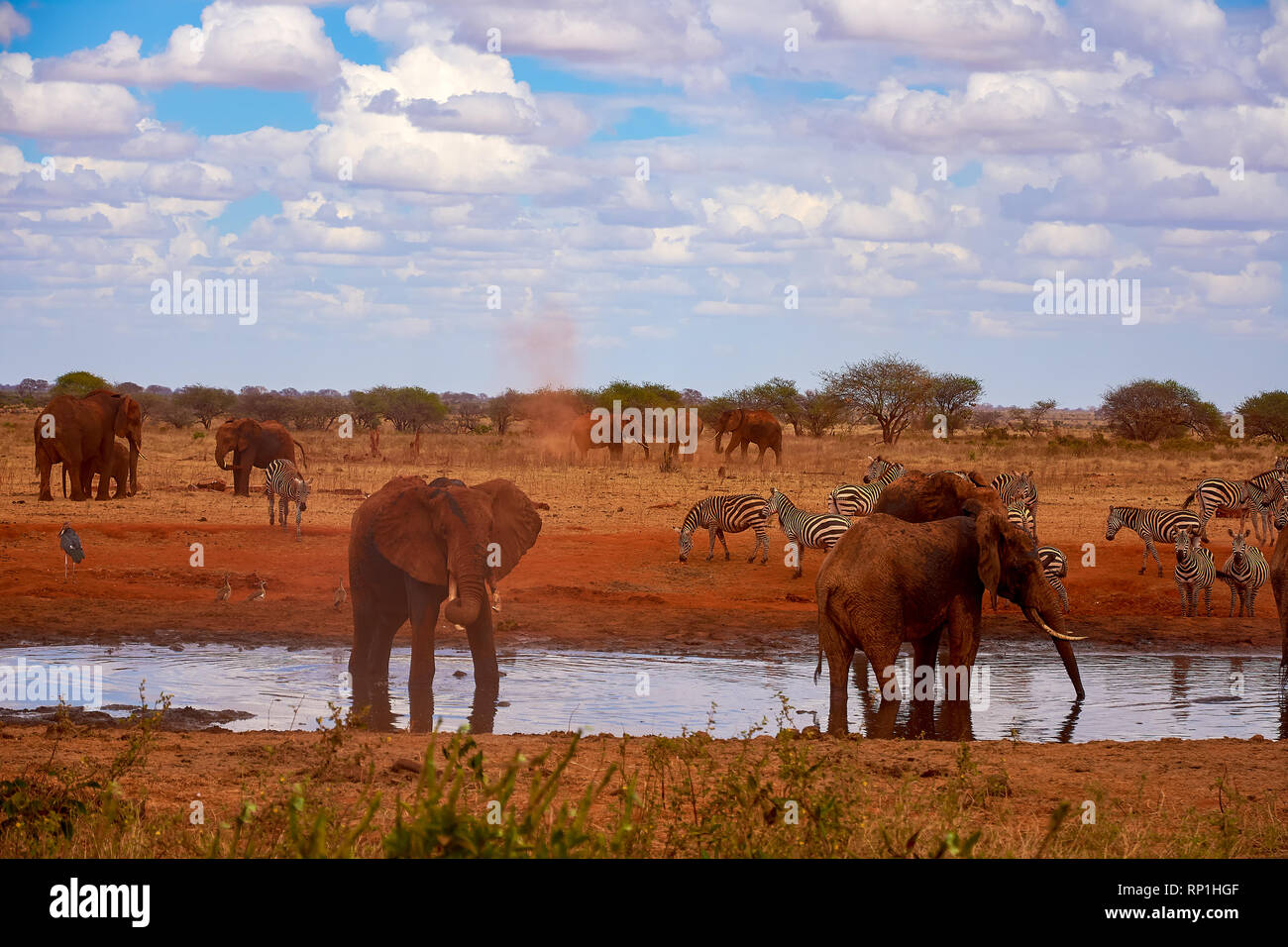 View of a family of elephants and zebras. Water pond in the Tsavo National Park in Kenya, Africa. Blue sky with clouds and red sand. Stock Photo