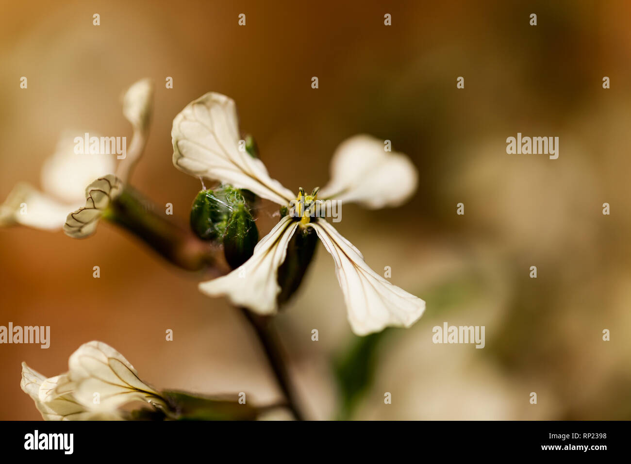 Colorado Clematis columbianus wild flower, white with a yellow center. Beautiful flower in macro image - Stock Image