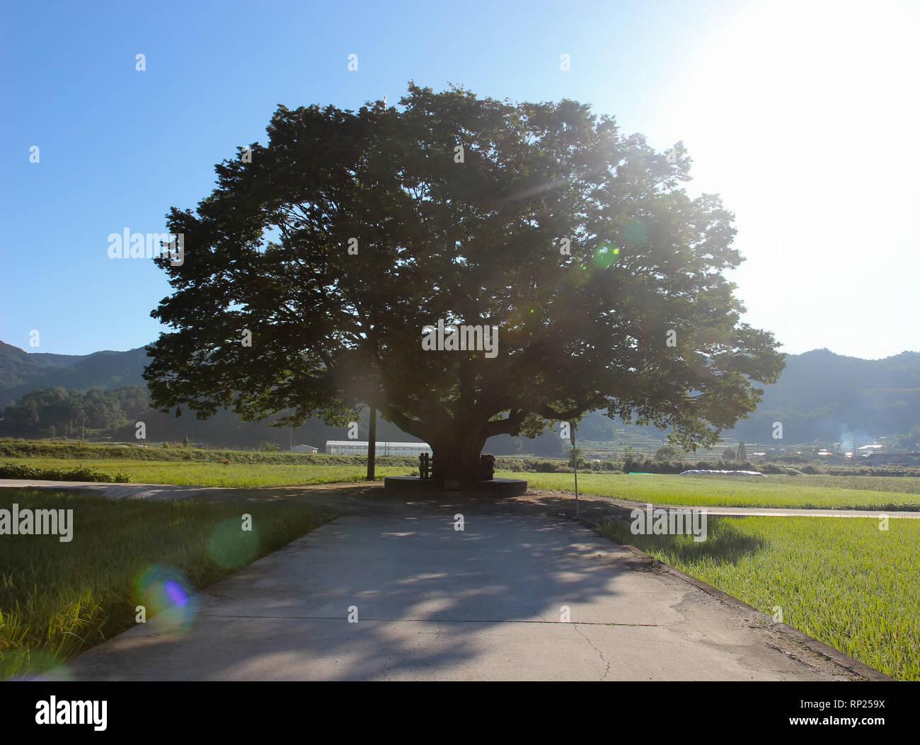 Wangtta Bully Zelkoba Tree in Yaro, Hapcheon, Gyeongnam, South Korea, Asia - Stock Image