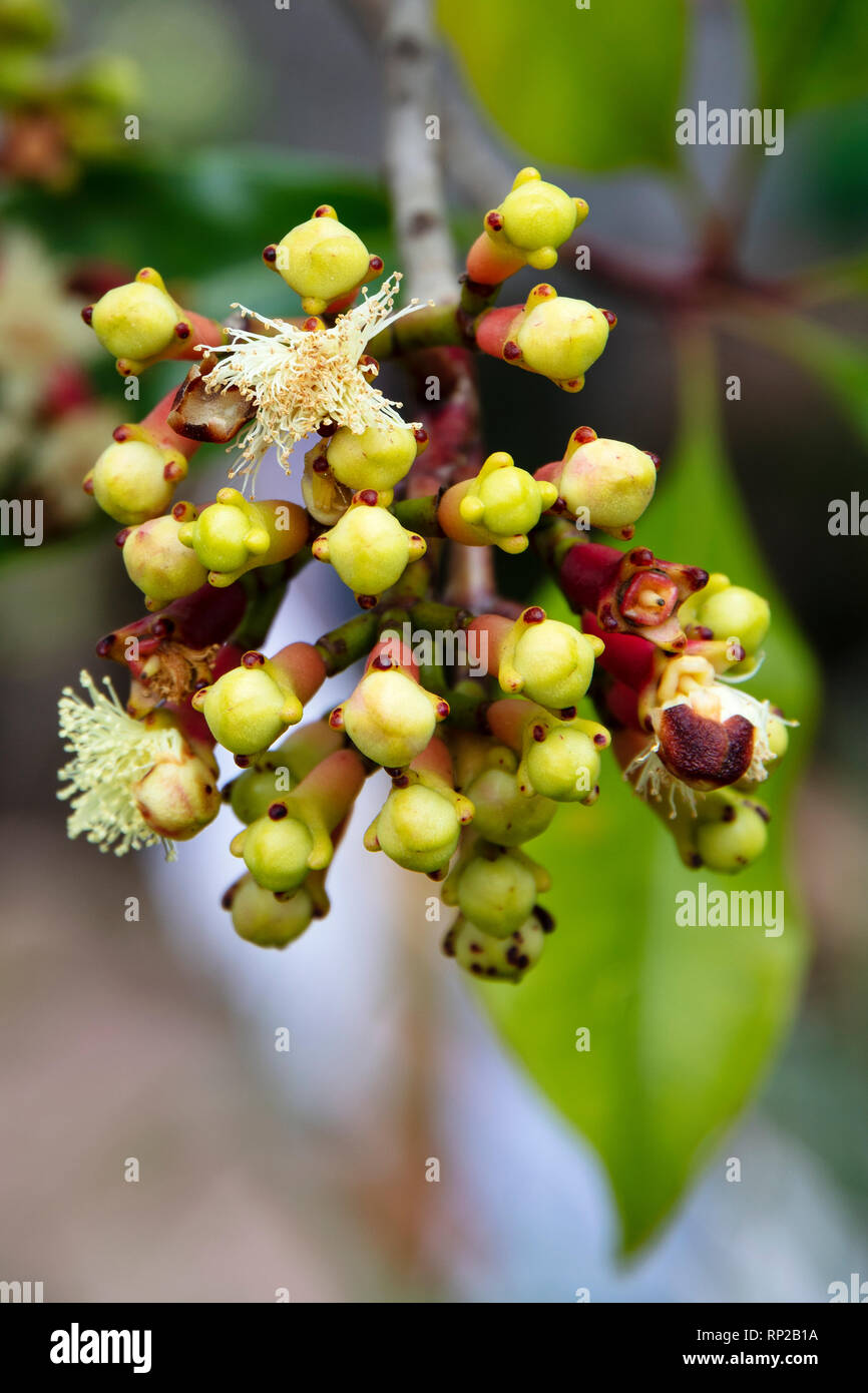 Indonesia, Spice Islands, the flower buds of cloves growing in the wild - Stock Image