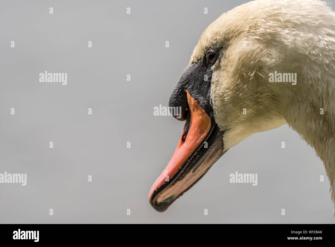 White swan - close up of  swans face with a clear  grey background. Stock Photo