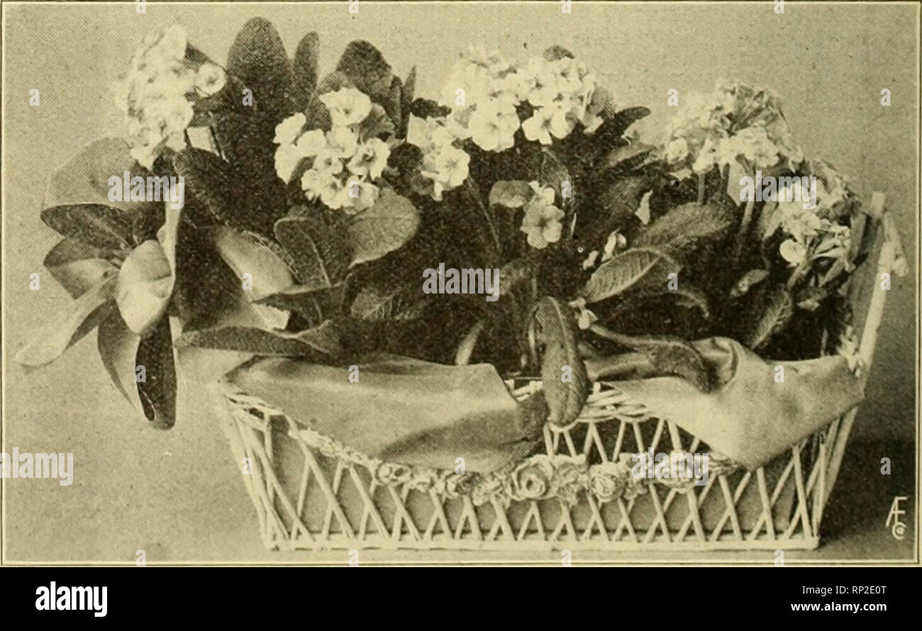 """. The American florist : a weekly journal for the trade. Floriculture; Florists. 738 The America n Fl oris t. May 3, the second Sunday in May of each year, as a day for the adoration of the moth- ers of the country, and establishing- the custom of  sendinj- them flowers, it should be emphasized that the flowers to send are """"your mother's favorite flower."""" Everything- possible should be done to discourag-6 the use of the w-hite carnation; it is tho bugbear, around which hangs all the hig-h price objec- tions to the day. Eliminate this flower in connection with the observance and adopt Stock Photo"""