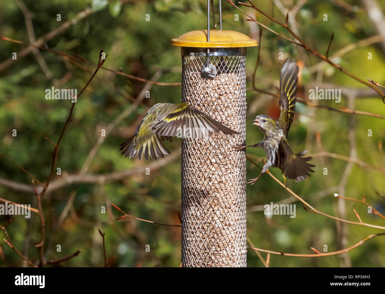 Siskins (Carduelis spinus, common siskin, Eurasian siskin) in flight squabbling at a bird feeder in a garden in Surrey, south-east England, UK in wint - Stock Image
