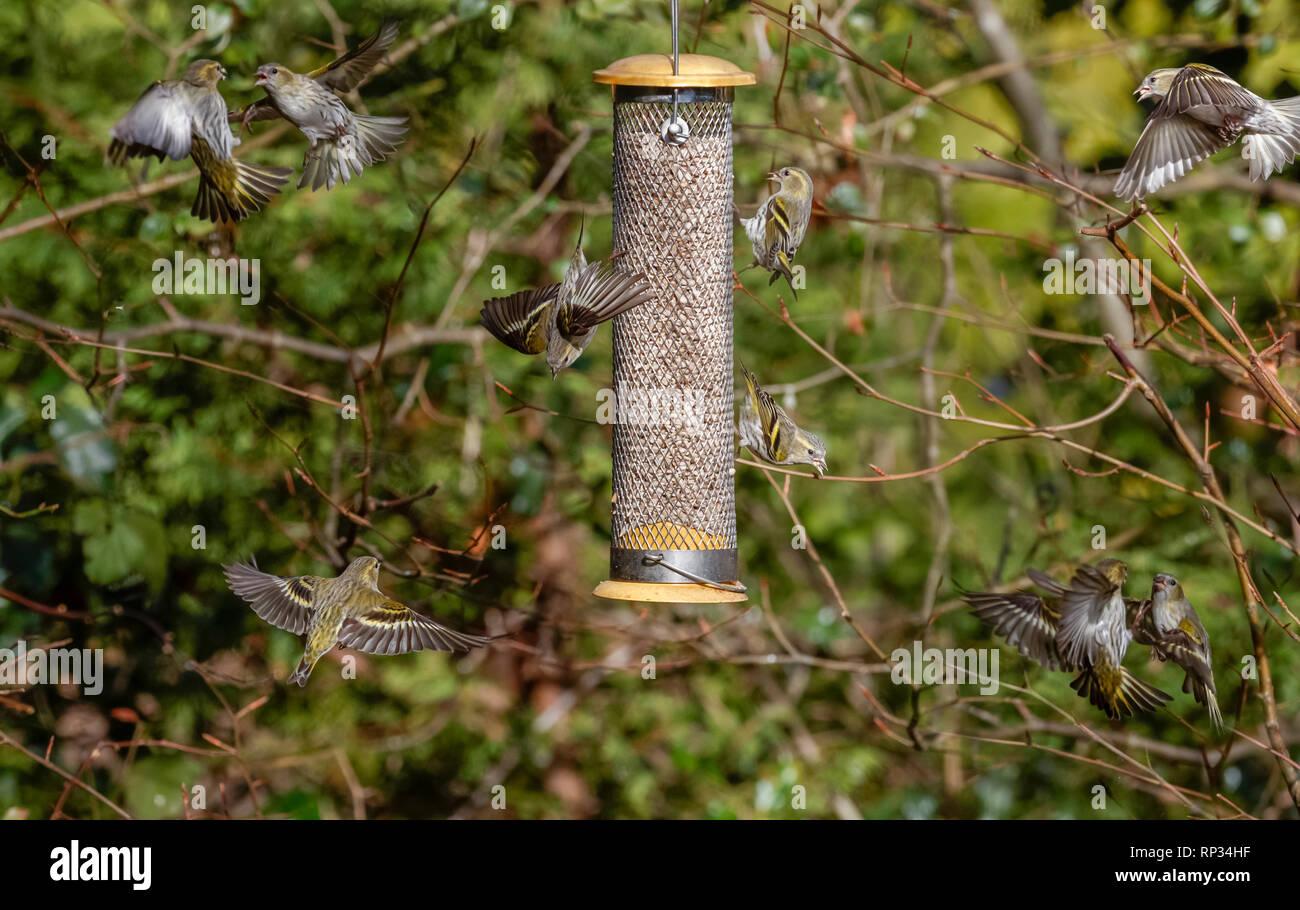 Siskins (Carduelis spinus, common siskin, Eurasian siskin) in flight around a bird feeder in a garden in Surrey, south-east England, UK in winter - Stock Image