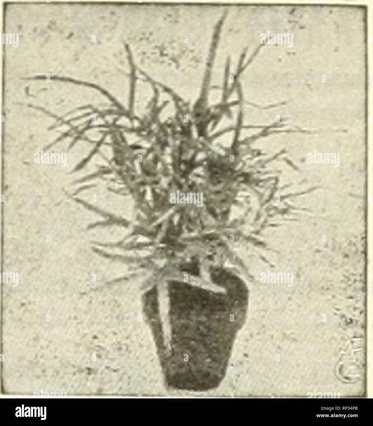 . The American florist : a weekly journal for the trade. Floriculture; Florists. Pteris WUsonj WITTBOLD'S Plants ARE BES- Pteris Serrulata. Order Today and Avoid the Risk of Cold Weather Siifpmenfs. Bedding Plants Aohryantbi-'S, P. do Bailor, 2 iu., $2.50 per 100. Ageratum, StPlla Gurnev and Princess Pau- line, 2-iu., $2.00 per 100. COLEVS, 2-inch. Per 100 Pfister, red and yellow $2.00 Beckwith's Gem 2.00 Golden Bedder 2.00 Verschaffeltii 2.00 Geraniums, S. A. Nutt, Kose, 2-in., $2.00 poi- mo. Gnapbalium Lanatum, 2-in.. $2.00 per 100. Heliotrope, 2-in.. $2.00 per luO. Ivy, ijernian. 2-in.j $2. - Stock Image
