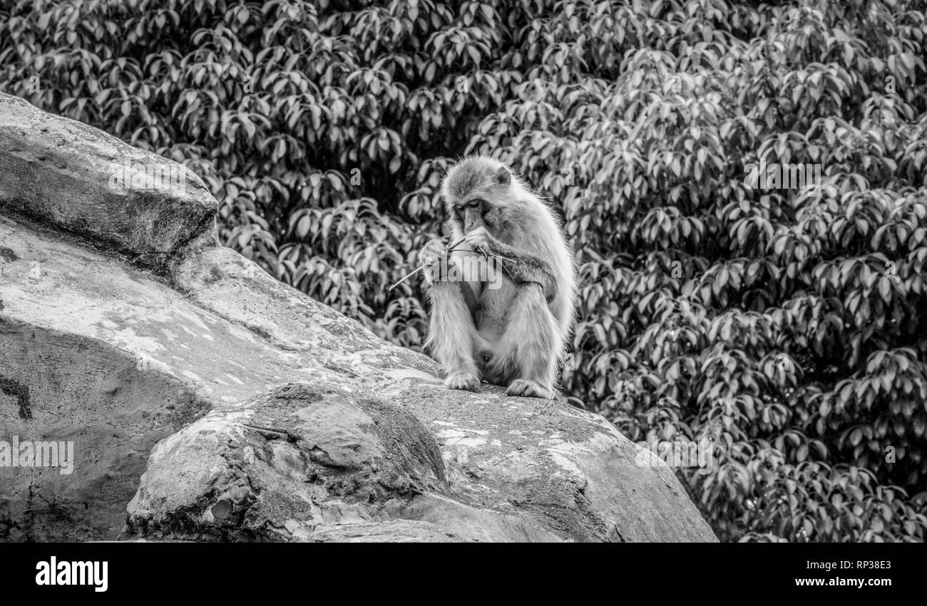 Small monkey sitting on a rock - Stock Image