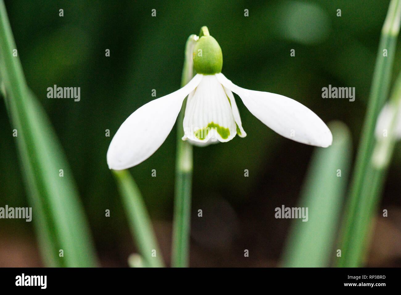 The flower of a snowdrop 'S. Arnott' (Galanthus 'S. Arnott') - Stock Image