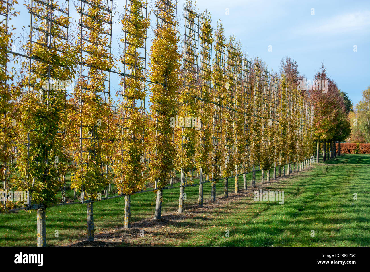 Dutch Nursery Of Exclusive Shaped Espaliered Decorative Trees