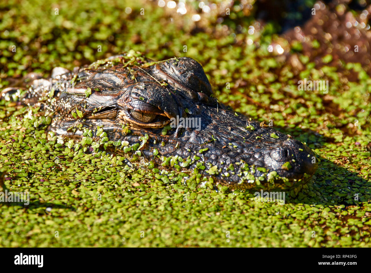 Young Alligator in the Duckweed Stock Photo