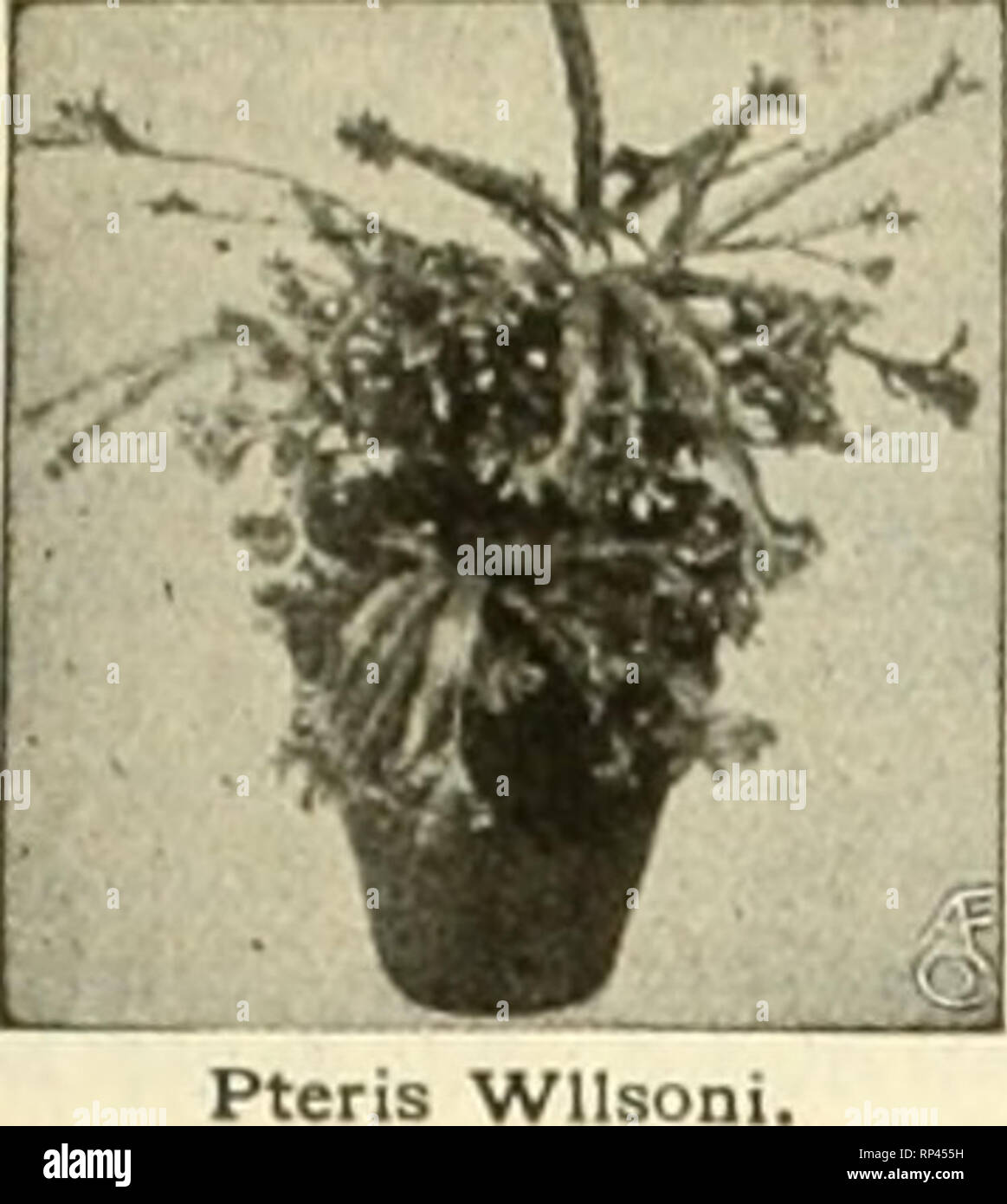 . The American florist : a weekly journal for the trade. Floriculture; Florists. igii. The American Florist. 761. Pteris Wilson WITTBOLD'S Plants ARE BEST 1 fe 1 ^ p 'i' Pteris Serrulata Order Today and Avoid the Risk of Cold Weather Shipments Bedding Plants p. de Bailey 2-ln., $2.60 per Aohryanthes, 100. Ageratum, Stella GorDey and Princess Pauline, 2-ln., $2.00 per 100. COLEUS, 2-inoh. Per 100 Pflster, red and yellow 12.00 Beckwlth's Gem 2.00 Golden Bedder g.OO Verschalteltll 2.00 Geraniums, S. A. Nutt, Rose, 2-ls., $2,00 per 100. Gnapballum Lanatum, 2 In., $2.00 per 100. Heliotrope, 2'ln.,  - Stock Image