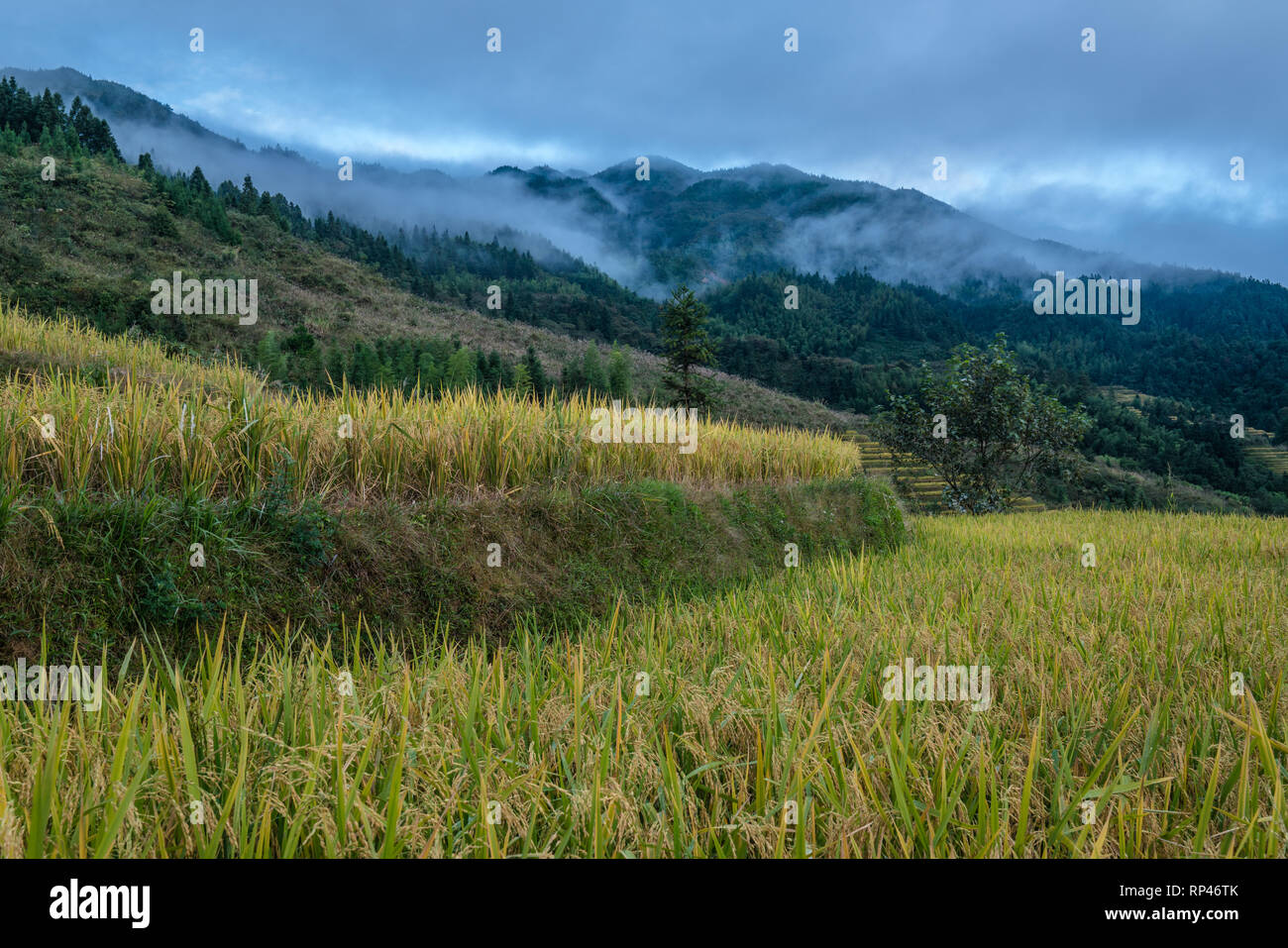 Close-up of view of rice terraces on a foggy day in China Stock Photo