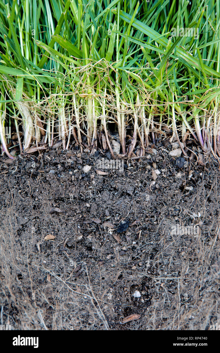 Grass roots close up - Stock Image