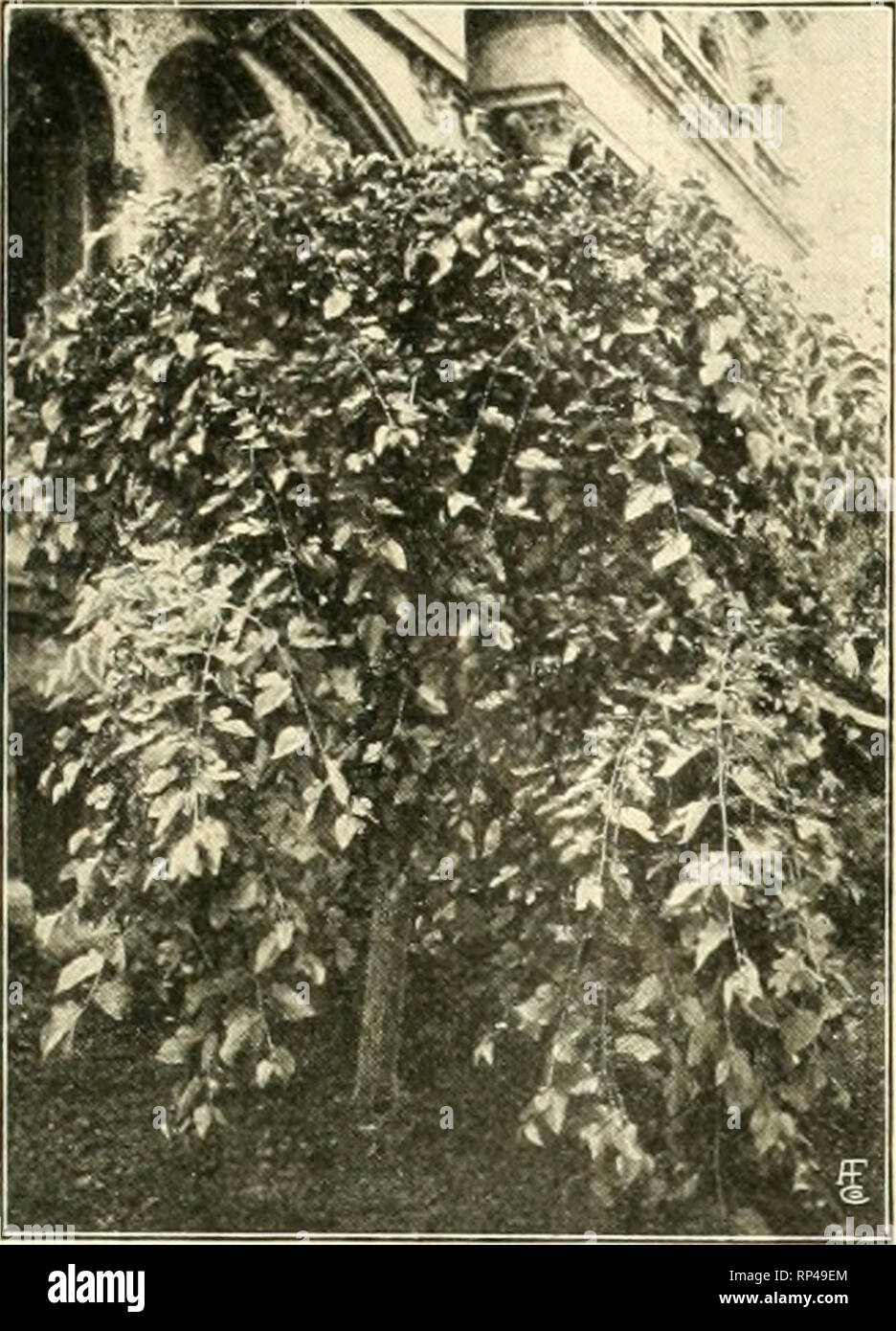 . The American florist : a weekly journal for the trade. Floriculture; Florists. tgn. The American Florist. 695 SEASONABLE STOCK. TREES Each Moras Pendula (Wcepinu Mulberry). 3 yr.. heads 5 ft. hijh. stems IK to IHin $1.25 Cherry, Earlv Richmond aod Dyebrus. 1 to IVi in. stem 6 to 8 ft SO AcerNegimdo (Box Elder). 2 to 24 in. stems. 8 to 10 ft 1 00 Salix Americana ( Vmerican Weeping Willow). IH to Wi in. stems 7 to 8 ft., nice heads.. 1 25 DUmus Montana Pendula (Camperdown Weeping Elm). 2H to 3 in. stems. 10 to 12 ft.. 3- yr. heads 25 Populus Monilifera (Carolina Poplar), 2 to 2ii in 75 SHRUBS  - Stock Image