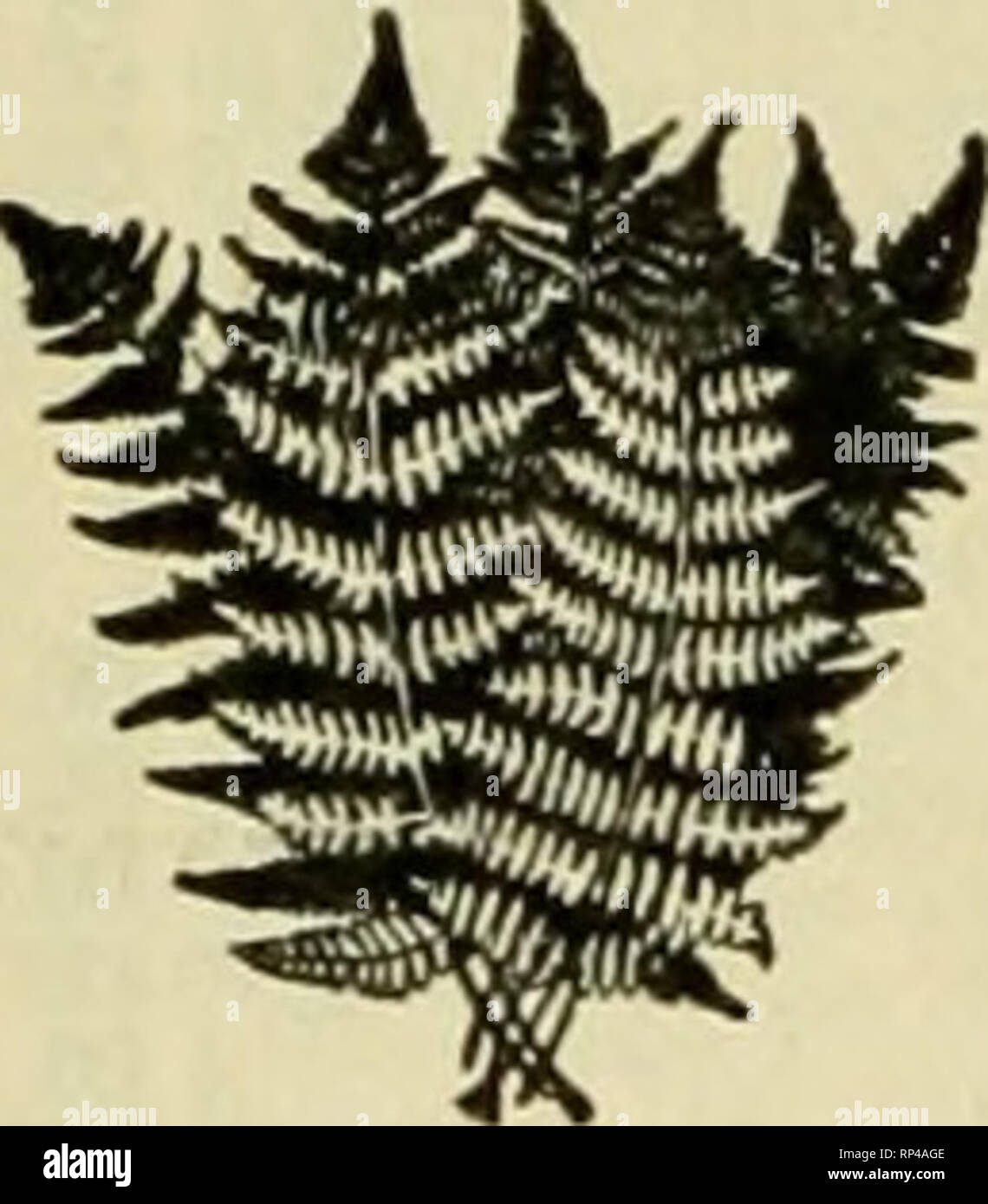 """. The American florist : a weekly journal for the trade. Floriculture; Florists. Qeorge Cotsonas& Co. Wholcsaleand Retail Dealers ID all kinds of Evergreens Fancy and Dag^ferf Ferns. Bronze and Green Galax. Holly. Leucotboe Sprays. Priocess Pine, Etc.. Delivered to all parts of United States and Canada 127 W. 28th St.. bet. 6tb & 7th Aves.. Uau/ Ynrlr Telephone 1202 Madison Square. ''*"""" ?*'*'* ^ in all kinds of ^^^^l '^^^ Evergreens ^^^ ^^H^^v Fancy Dag^f er ^^fl^^^^ft ^H^^v Ferns. Bronze and ^^M^^^^P ^^W Green Galax. Holly. ^I^^^V ^^ Leucotboe Sprays. / ^^^^ """"* Prioress Pine - Stock Image"""