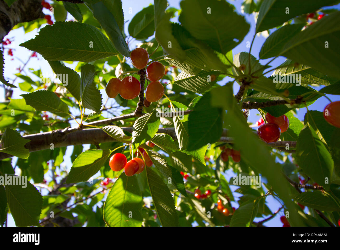 Cherry Tree, Michigan - Stock Image
