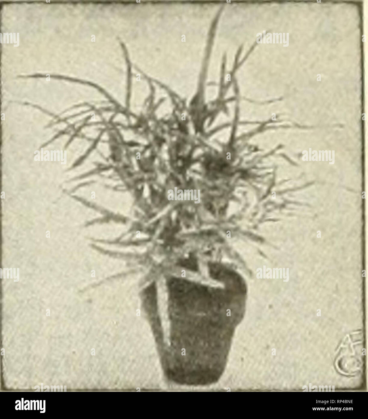 . The American florist : a weekly journal for the trade. Floriculture; Florists. Pteris Wilsonl. EXTRA FINE Plants, PALMS and FERNS FOR THE BEST ORDER OF US.. Pteris Serrulata. Bedding Plants ACHYRANTHES—Rooted Cuttings. Per 1000 Metallica $ 6.00 P. de BaUey 10.00 Llndenli 8.00 Warscewiczli 6.00 ACHYRANTHES—2-Inch. Per 100 P. de Bailey $2.60 Metallica 2.00 Lindenii 2.00 Warscewiczii 2.00 AGERATUM—2Inch. Per 100 Stella Gurney $2.00 Princess Pauline 2.00 COLEUS—Rooted Cuttings. Per 1000 Golden Bedder $6.00 Beckwiths Gem 6.00 Verschaffeltil 8.00 COLEUS—2-Inoh. Per 100 paster, red and yellow $2.00 - Stock Image
