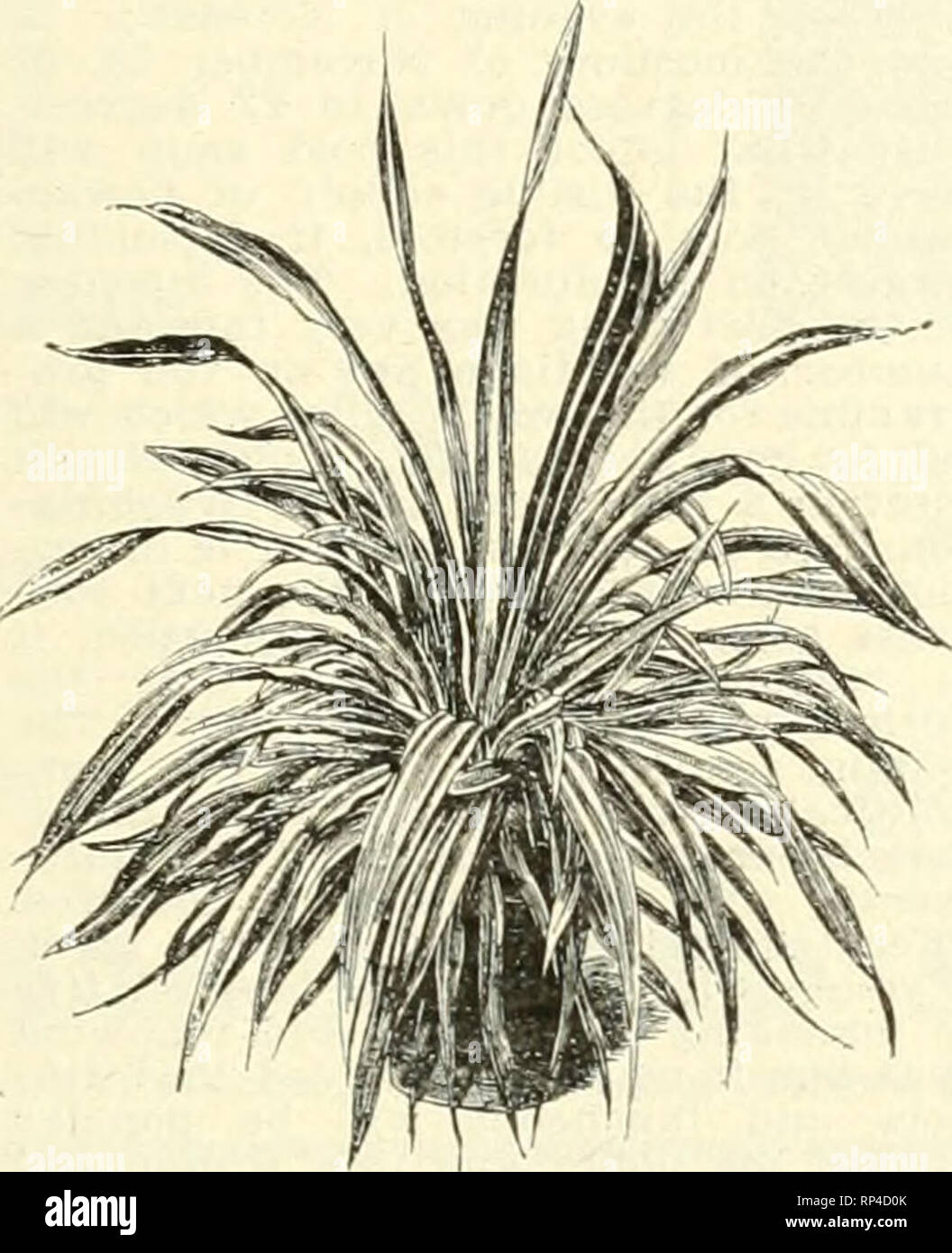 ". The American florist : a weekly journal for the trade. Floriculture; Florists. Pteris Serrulata. Order Today and Bedding Plants ACHYRANTHES—Rooted Cuttings. Per 1000 Mftallica $ 6.00 V. de Bailey 10.00 Lindenii 6.00 W.arsoewiczii 6.00 ACHYRANTHES—2-Inch. Per 100 I', dc"" Kaili'V $2.60 >U'tallica 8.00 I>indenli 2.00 War.scewic'/ii 2.00 AGERATUM—2-Inch. Per 100 Stella Giiniey $2.00 rrince.ss Pauline 2.00 COLEUS—Rooted Cuttings. Per 1000 I :oldeu Bedder $6.00 Beckwiths Gem 6.00 Verschaffeltii 6.00 COLEUS—2-Inch. Per 100 I'lisler, red and yellow $2.00 Beckwiths Gem 2.00 (Joldeu Bedder  - Stock Image"