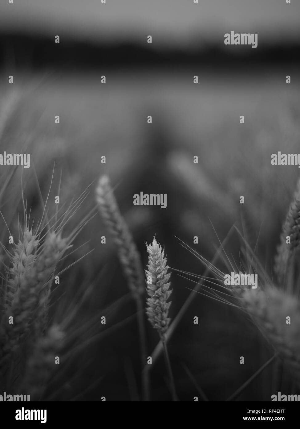 Close up black and white wheat field. - Stock Image