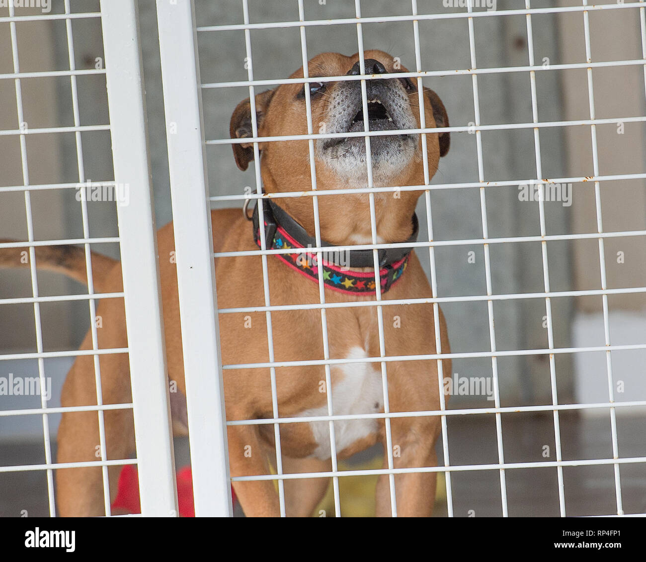 snarling staffordshire bull terrier in a pound - Stock Image