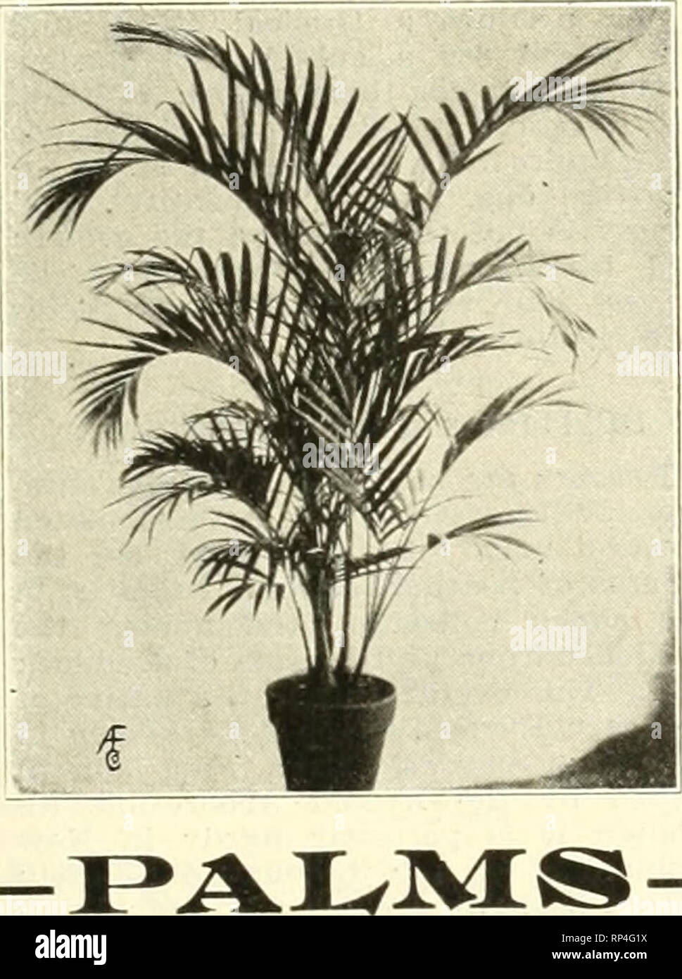 ". The American florist : a weekly journal for the trade. Floriculture; Florists. WITTBOLD'S Plants ARE BEST ^ ""^^H W fH  11 r . Pteris Serrulata. Order Today and Avoid the Risk of Cold Weather Shipments Bedding Plants p. de Balle; 2'ln., f2.60 per PrincHi Aohryanthes 100. Agttratum, Stella Gurney and Piulloe, 2-ln., 12.00 per 100. COLEUS, 2-mch. Per 100 paster, red and yellow $2.00 Beckwltta'B Gem 2.00 Golden Bedder 2.00 VerschaffeltU 2.00 Geraniums, S. A. Nntt, Rose, 2-ln., (2.00 per 100. Gnapbalium Lanatum. 2 In., $2.00 per 100, Heliotrope, 2'in., $2.00 per 100. Ivy, German, 2-in., $2. - Stock Image"
