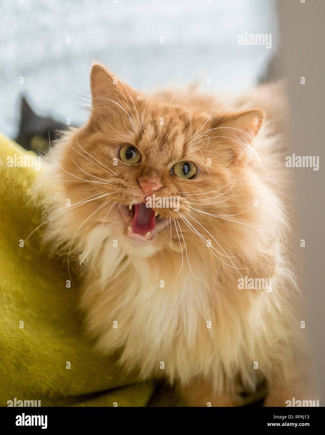angry cat hissing at camera - Stock Image