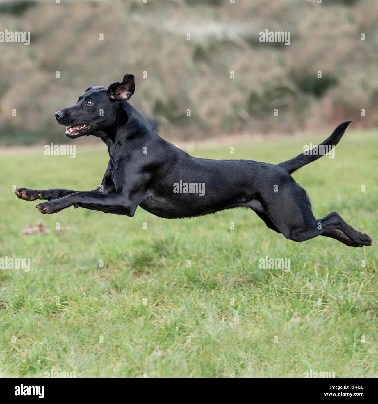 black labrador retriever running - Stock Image