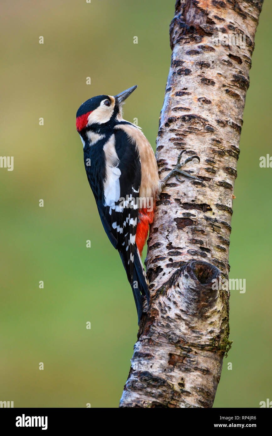 Male Great Spotted Woodpecker, Dendrocopos major, Dumfries & Galloway, Scotland - Stock Image