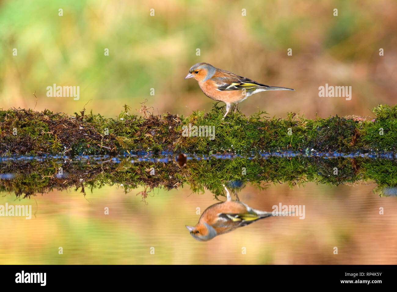 Male Chaffinch, Fringilla coelebs, Dumfries & Galloway, Scotland - Stock Image