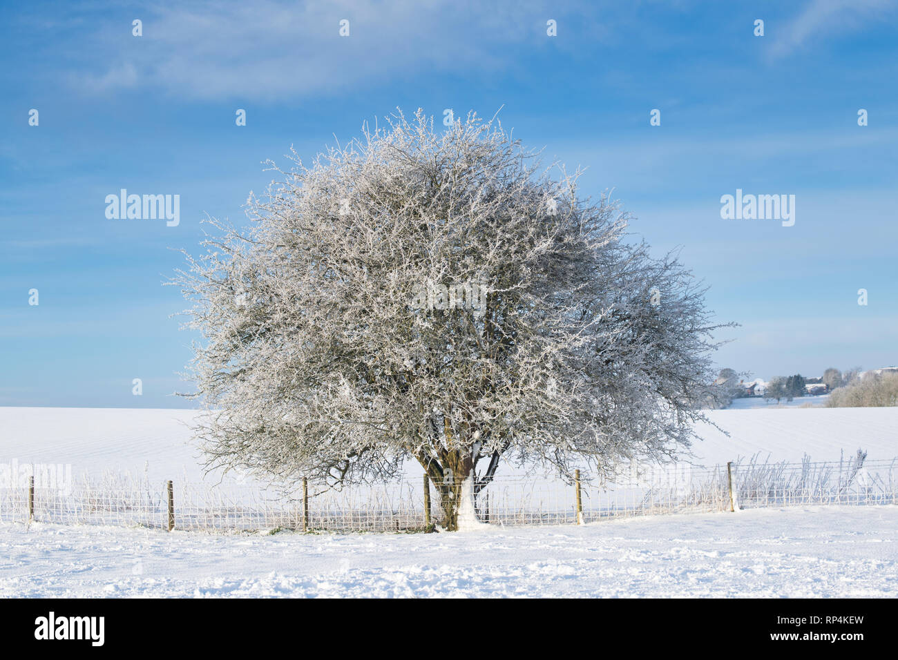 Winter hawthorn tree in the winter snow. Avebury, Wiltshire, England - Stock Image