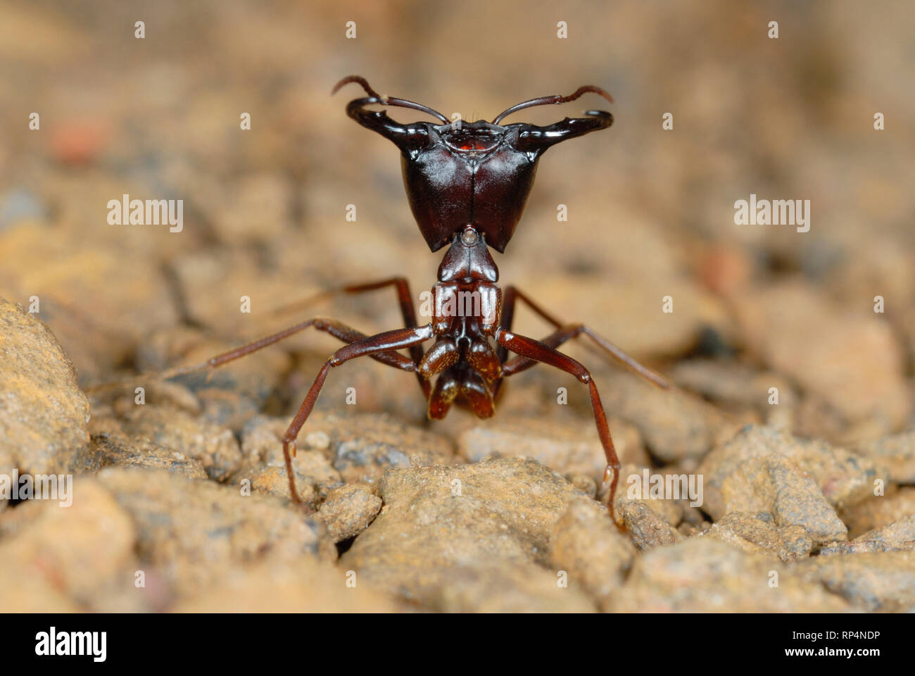 Safari Ant Guard (Dorylus sp.) Stock Photo
