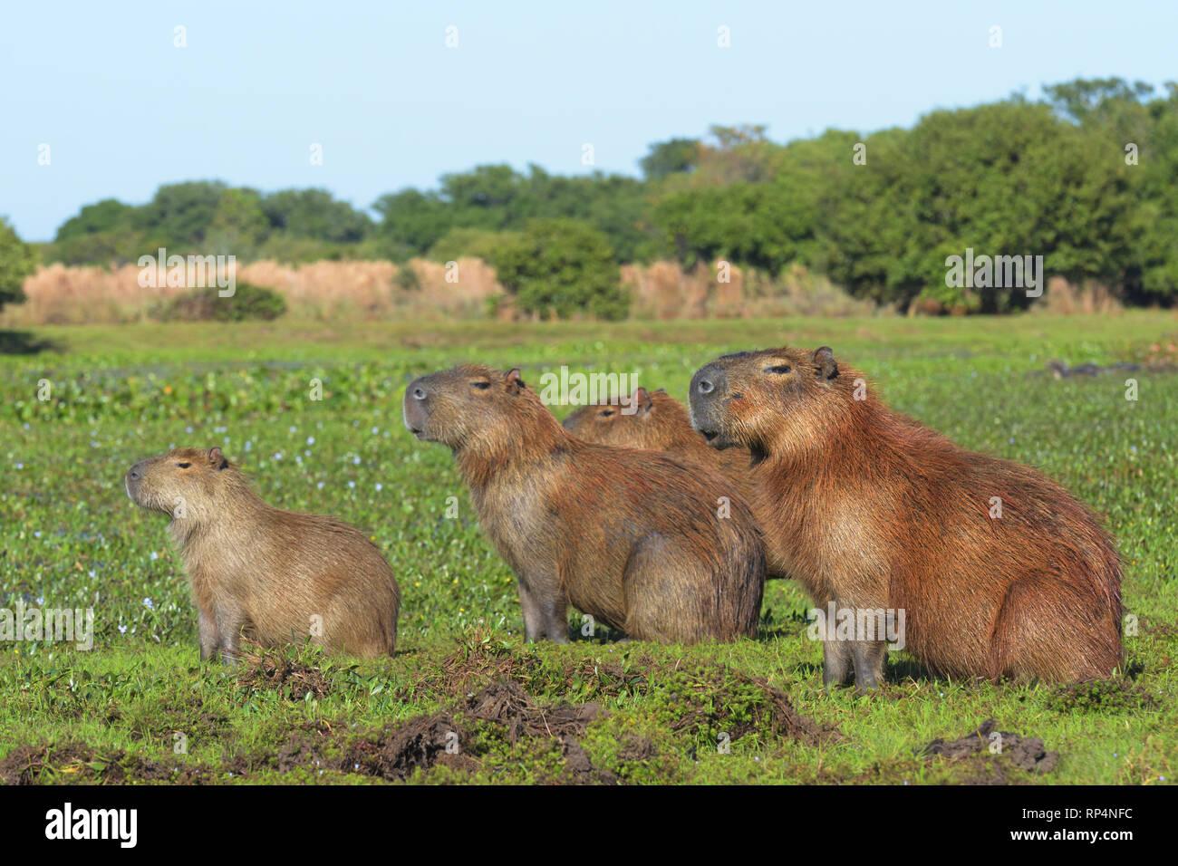 Family of Capybara (Hydrochoerus hydrochaeris) in the Pantanal Stock Photo