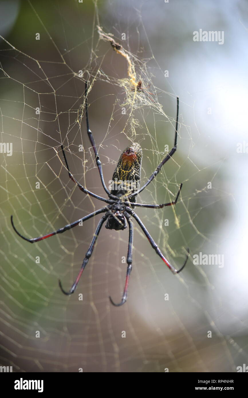 Banded-legged Golden Orb-web Spider (Nephila senegalensis) in a hotel garden at Diani Beach, Kenya - Stock Image