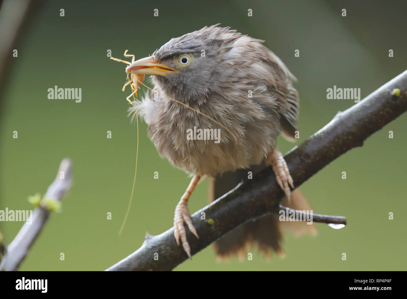 Jungle Babbler (Argya striata ) eating a cricket - Stock Image