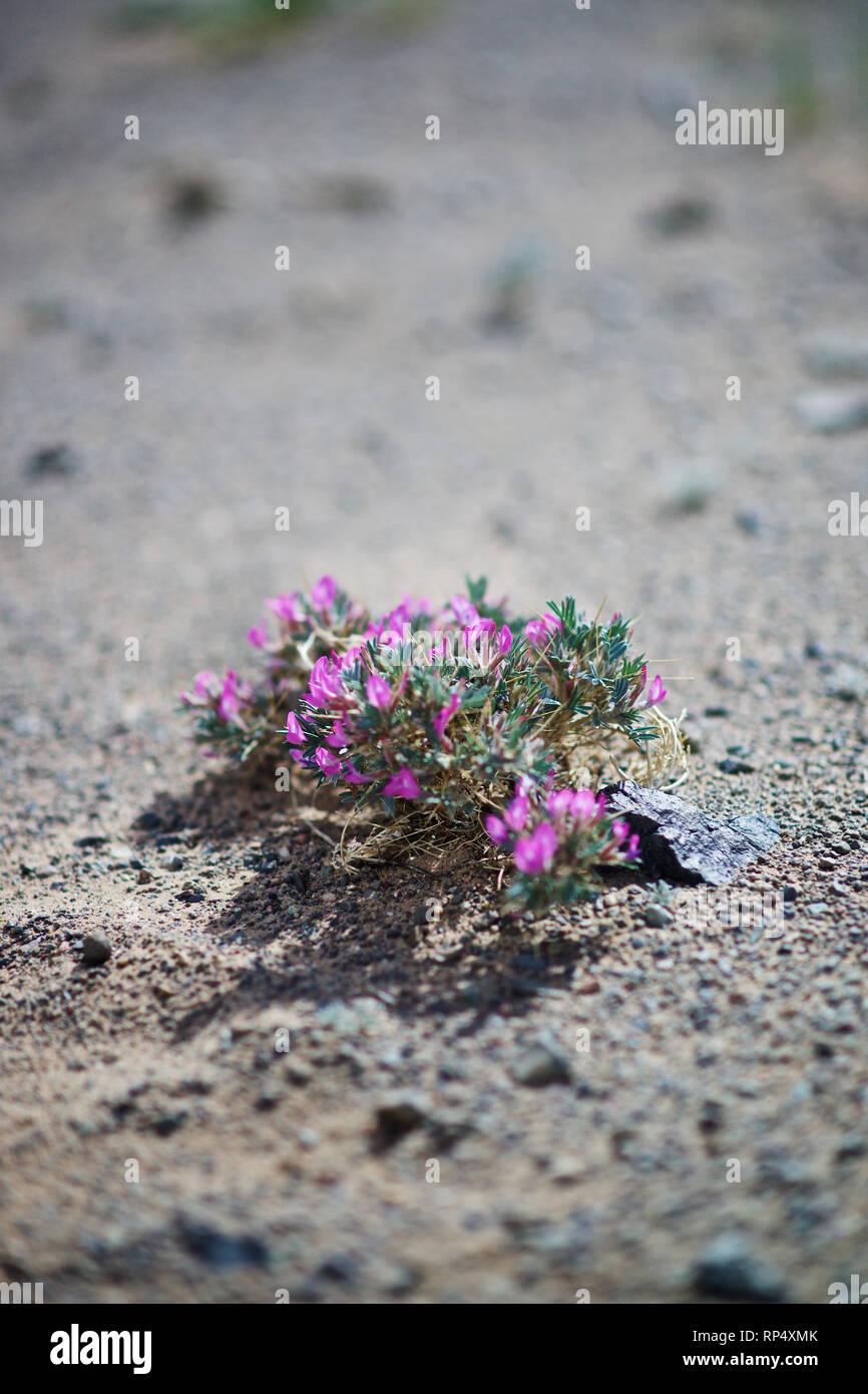 Desert flower, Khogoryn Els,  Gobi desert, Omnogov aimag, Mongolia - Stock Image
