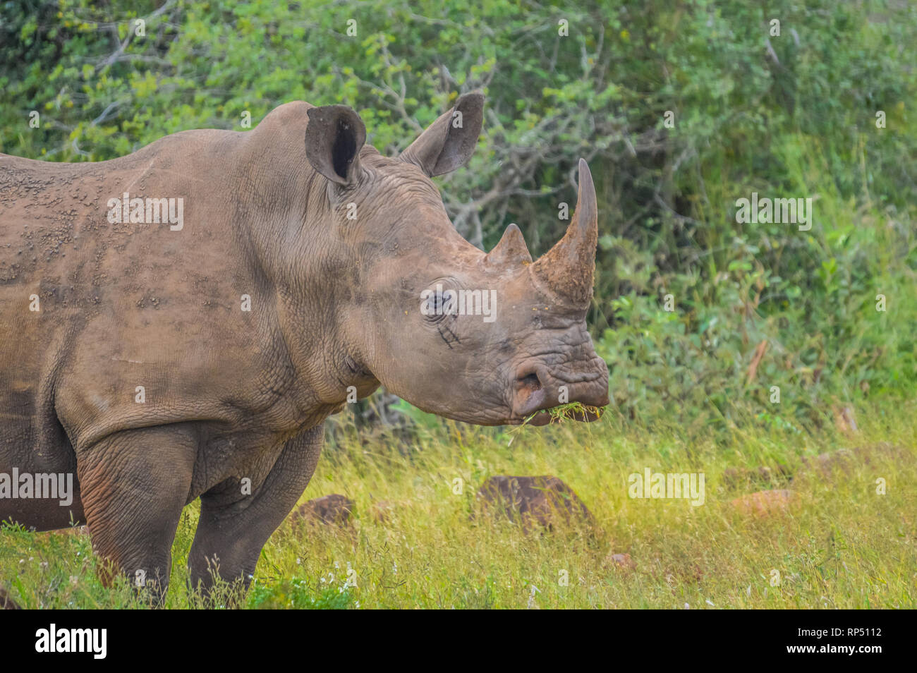 Male bull Cute White Rhino or Rhinoceros in a nature wild reserve in South Africa - Stock Image