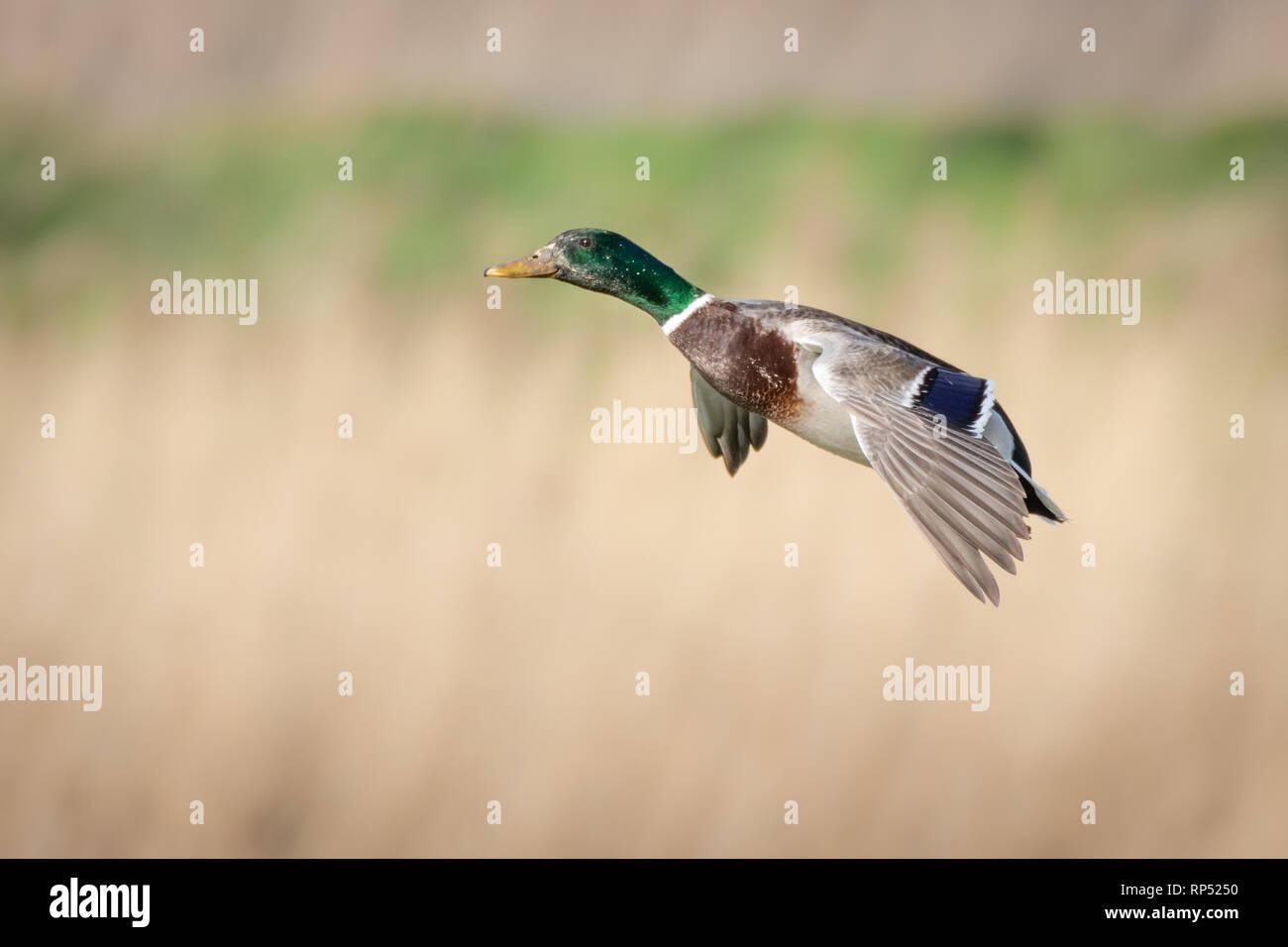 Male Mallard duck in flight - Stock Image