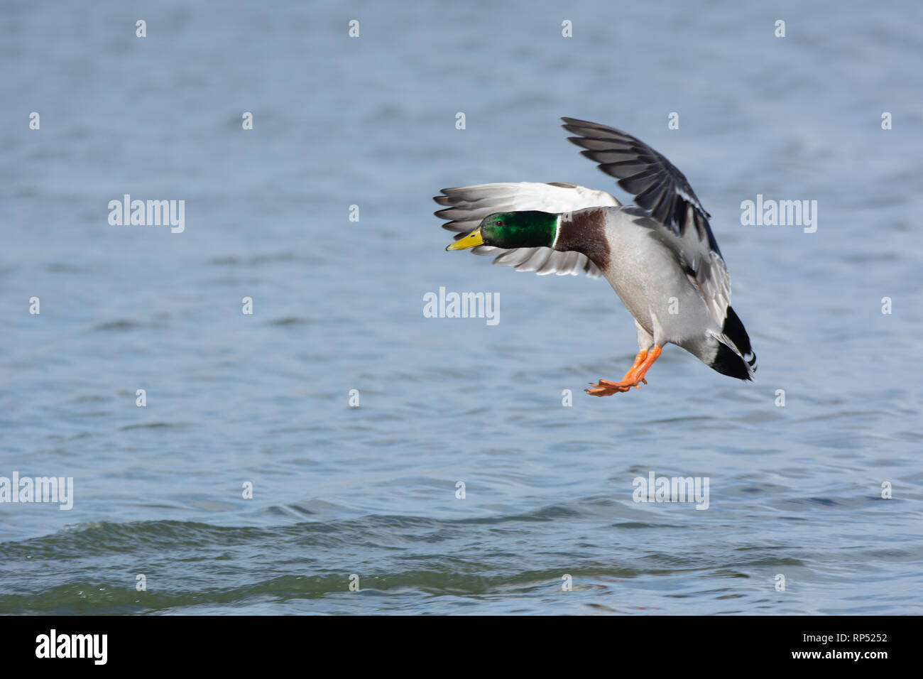 Male Mallard duck coming in to land - Stock Image